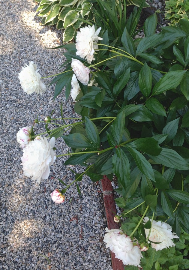 Into the Garden: Peonies