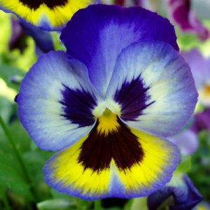 The meaning of a Pansy flower in a dream     The Dream Well To understand the meaning of a particular flower in a dream  we can look at  both its physical characteristics as well as its symbolic meanings