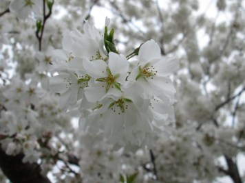 Close-up of a cluster of cherry blossoms. Photo by Victoria Laughlin, 2013.