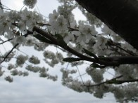 A branch of cherry blossoms in the foreground. Photo by Victoria Laughlin, 2013.