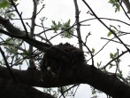 This nest was in the Bradford pear all winter. I hope some birds are using it! Photo by Victoria Laughlin, 2013.