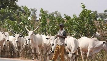 Image result for 54 Fulani herdsmen killed in Kajuru crisis - Miyetti Allah