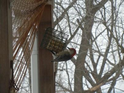 Hairy Woodpecker on Suet
