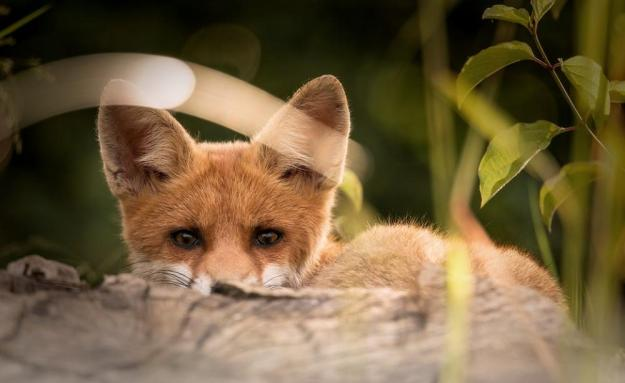 Hunt accused of illegally targeting fox cubs   Milton Keynes