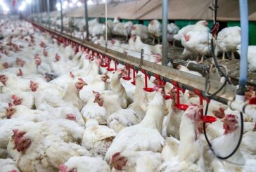 CBN urged to divulge identity of bank-funded poultry projects