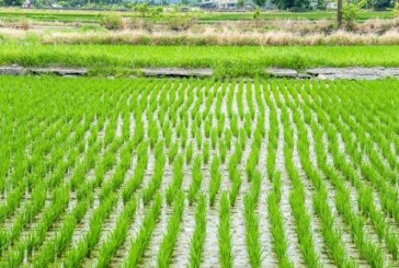 Rice production has increased by 1.2 million metric tonnes –FG