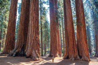 Kalifornien Redwood