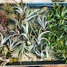 Air plants- even I can't kill these lovely living things!