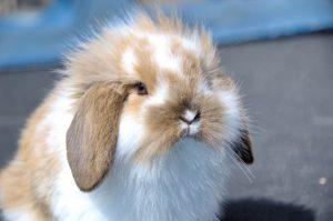 Flemish Rabbit, Pet Care, www.theeducationaltourist.com
