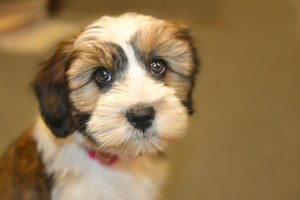 Puppy with big eyes, Pet Care, www.theeducationaltourist.com