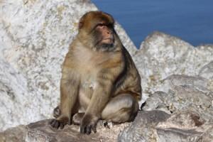 gibraltar - barbary macaque