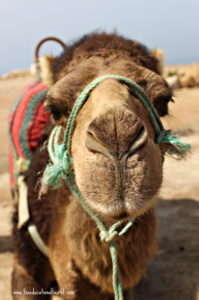 Camel closeup, Turkey is not Arab, www.theeducationaltourist.com