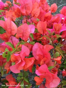 Bougainvillea, Flowers of Hawaii, www.theeducationaltourist.com