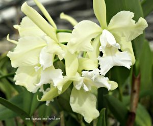 White orchids, Hawaii, the BIG island Hawaii, the BIG island