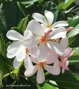 Plumeria white with pink throat, Flowers of Hawaii, www.theeducationaltourist.com