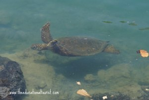 sea turtle in water, Hilton Waikaloa Village, www.theeducationaltourist.com