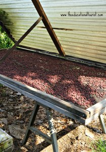 Cocoa beans drying, Original Hawaiian Chocolate, www.theeducationaltourist.com