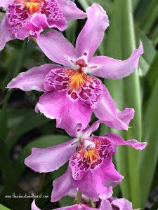 orchidtwotone
