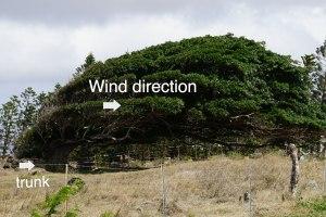 wind blown tree, South Point, Hawaii, www.theeducationaltourist.com