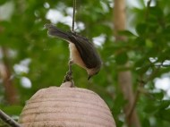 Titmice typically know the difference between a feeder and a wind chime.