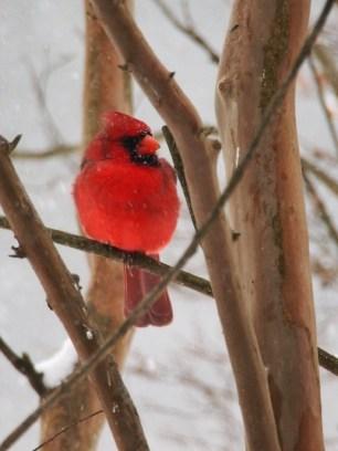 Redbird in the myrtle