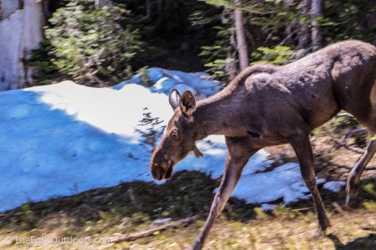 Moose, Fern Lake, Rocky Mountain National Park