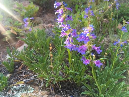 Fern Lake flowers, Rocky Mountain National Park