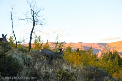 Mule Deer - Eagles Nest Wilderness