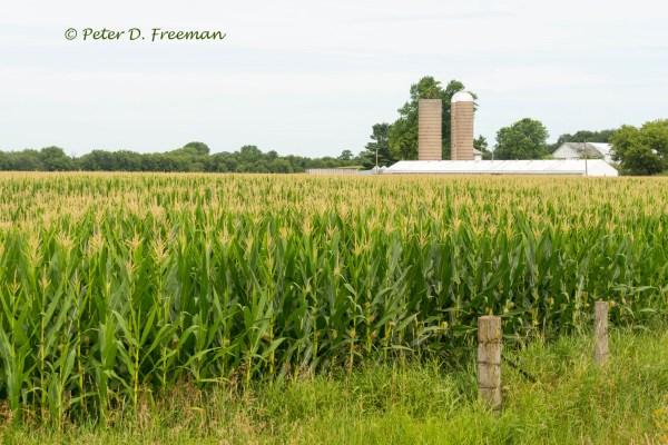 Tasseled Field