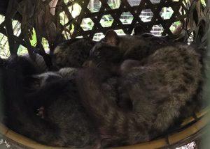 luwaks