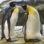 King-Penguin-1161830978-thumb-700×477-215066