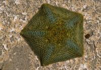 Cushion Sea Star Diet