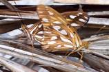 Passion butterflies / Gulf fritillaries