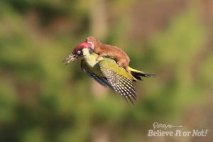 Weasel-and-Pecker-1-300x200