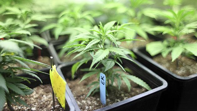 thinkstock_1.24.15_medicalmarijuana