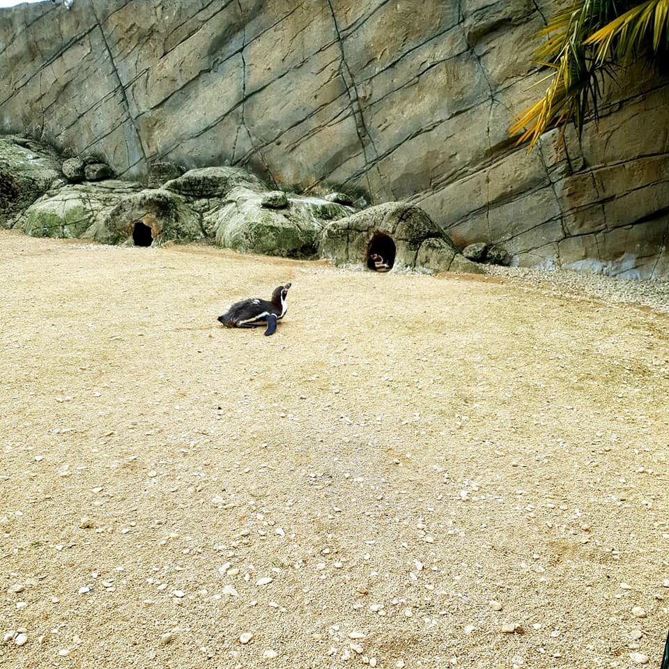 Two penguins are led on the gravel while one peaks through its little cave.