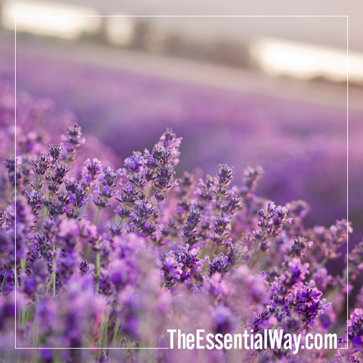 Young Living Lavender Fields The Essential Way