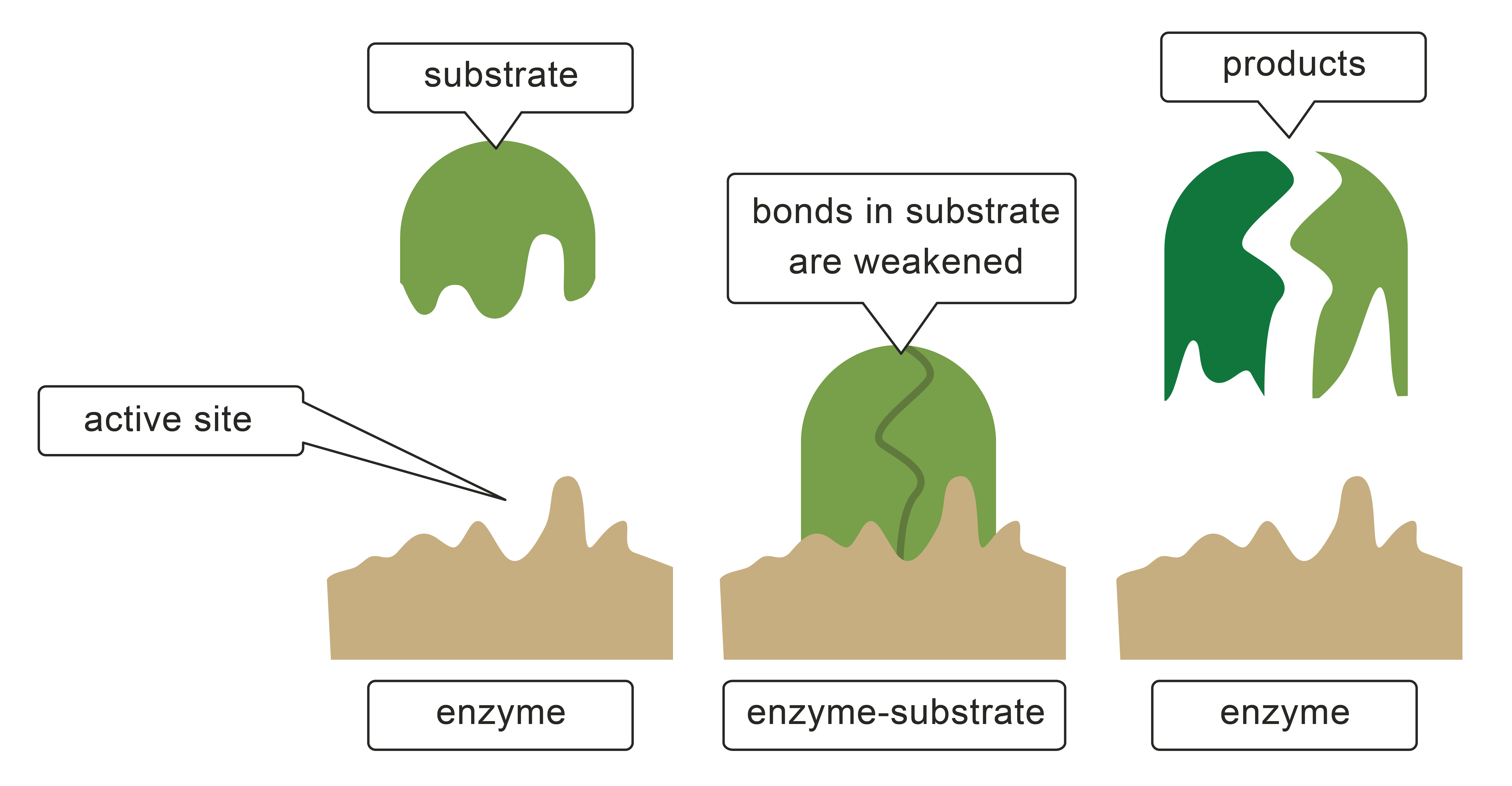 Enzymes I  The Unsung Heroes Of The Body