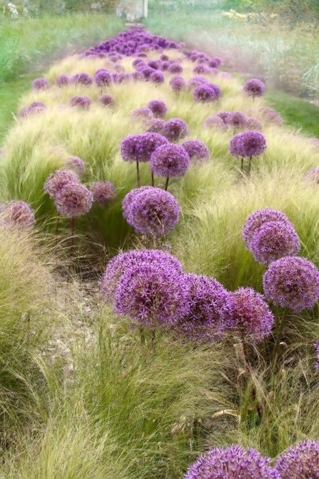 fav allium