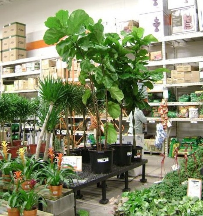 if you are interested in the ficus lyrata here are some sources to purchase - Fiddle Leaf Fig Tree