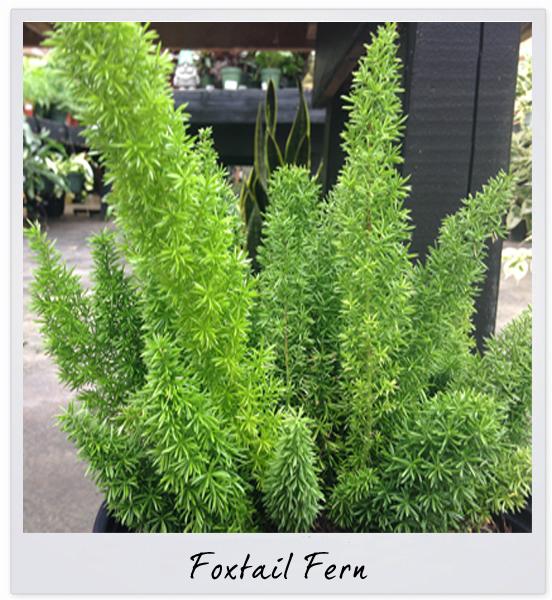 GSCO foxtail fern