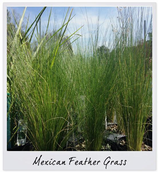 gsco feather grass