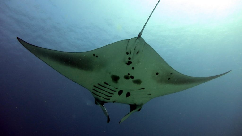 Best Things To Do in Bali Diving with Manta Rays