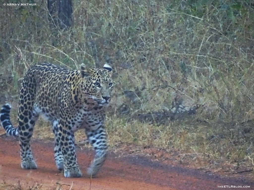 Leopard sighting Panna National Park India