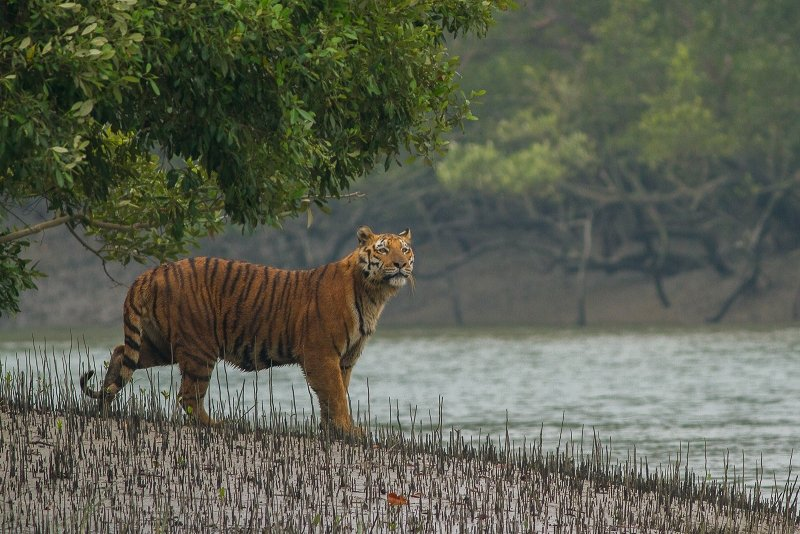 Royal Bengal Tiger at Sundarbans Tiger Reserve - Top National Parks in India that you need to visit | theETLRblog