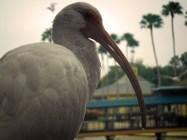 December, White Ibis