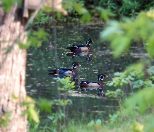June, Wood Ducks
