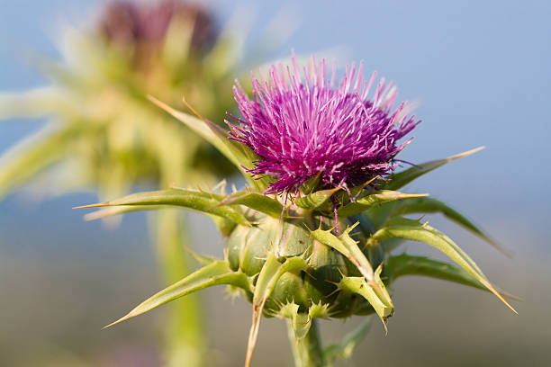 milk thistle seed as food