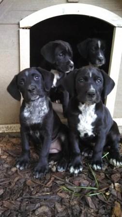 Hound Pups