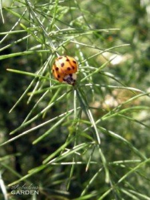 adult ladybug